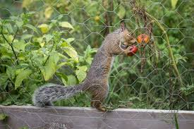 7 ways to keep squirrels from eating your tomatoes mnn mother