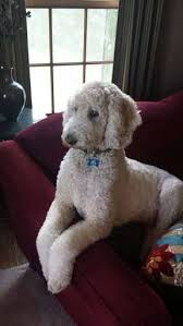 standard poodle hair styles standard goldendoodle haircuts の画像検索結果 haircuts
