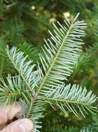 fir christmas tree valley farm types itus not easy growing a