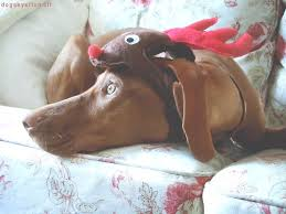 Vizsla Halloween Costume 54 Vizslas Dressed Images Dresses