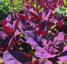 purple orach vegetable plants growing orach plants in your