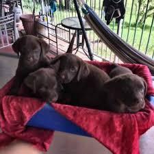 accounting resume exles australian kelpie lab labrador dogs puppies gumtree australia free local classifieds