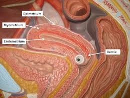Anatomy Of Female Reproductive System The Female Reproductive System Pictures Labeled Human Anatomy Chart