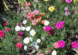 easy plants garden with annual moss rose plants easy to care moss rose