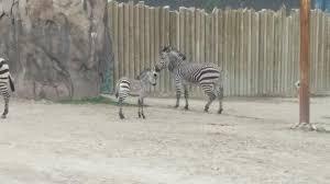 Zoo Lights Utah Hogle Zoo by Photos Baby Zebra Born At Utah U0027s Hogle Zoo Kutv