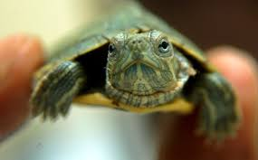 Baby Second Hand Store Los Angeles Illegal Traders Have Turned Baby Red Eared Sliders Into A Health