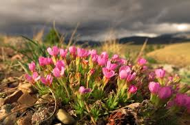 montana native plants flora montana rocky mountain douglasia
