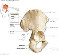 Human Anatomy And Physiology Final Exam Iliac Bone Anatomy Anatomy Final Exam Anatomy 332 With Zhang At