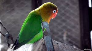 lovebird is a compact small colorful parrot wallpaper tadka