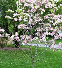 pink flowering dogwood hoette farms nursery