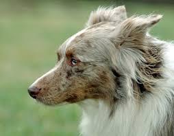 australian shepherd 1 jahr gewicht australian shepherd rassebeschreibung wesen haltung und pflege