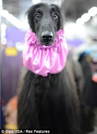 afghan hound collars uk westminster kennel club dog show 2013 performance enhanced