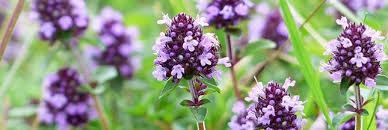 fleur de thym cuisine cosmétique le thym et les produits de beauté