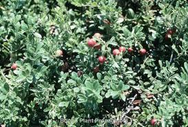 Nursery Plant Supplies by Arctostaphylos Uva Ursi U0027massachusetts U0027 Wholesale Nursery