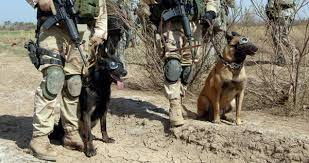 belgian shepherd malinois military the barking army google search soldiers canine companions