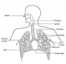 human breathing system diagram free lung worksheets respiratory