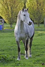 white mustang horse file white horse in field jpg wikimedia commons