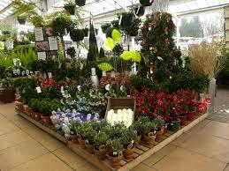 christmas plants squires garden centre twickenham displays