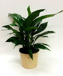 Peace Lily Plant Peace Lily Plant Scottsdale Arizona Florist And Chandler Mesa