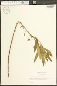 plants native to alabama ludwigia grandiflora ssp grandiflora species page apa