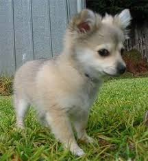 australian shepherd chihuahua mix 273 best dogs images on pinterest animals puppies and dogs