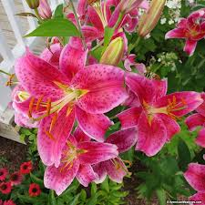 stargazer lilies stargazer bulbs lilium american