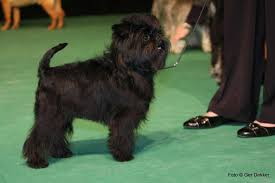 affenpinscher won westminster affenpinscher dog breed information pictures u0026 more