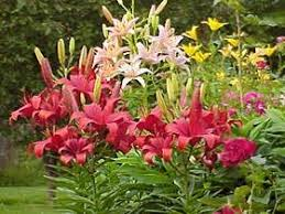 asian lilies lovely lilies garden org