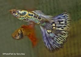 aoc bicolor guppy