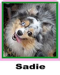 adopt a australian shepherd sadie adopted dog plano tx australian shepherd pomeranian mix