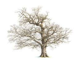 White Oak Tree Drawing Oak Tree Sketch Clipart Collection