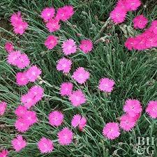 dianthus flower 101226836 jpg rendition largest ss jpg