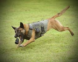 belgian sheepdog national specialty 2018 bcso u0027s k 9 patrols now have bullet proof stab proof vests san