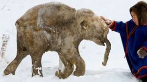 woolly mammoth alive caught tape