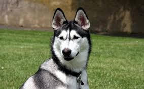 wallpaper husky muzzle dog look hd picture image