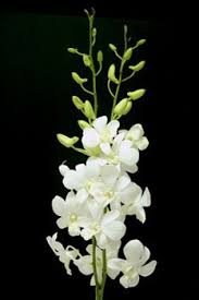 white dendrobium orchids dendrobium big white buy dendrobium orchid product on alibaba