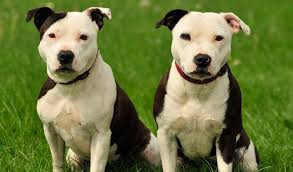 american pitbull terrier types staffordshire bull terrier dog breed information