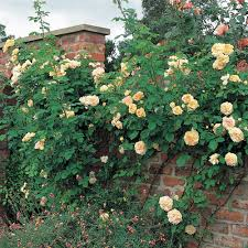 Fragrant Climbing Plant - most fragrant climbing roses david austin roses yellow