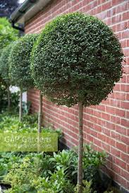 Lollipop Topiary Tree - gap gardens row of buxus lollipop topiary against red brick wall
