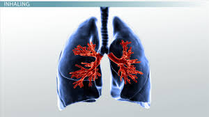 gas exchange in the human respiratory system video u0026 lesson