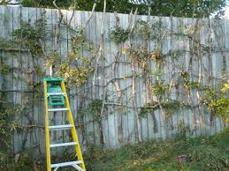Trellis For Wisteria Wisteria And A Boring Fence Toolgirl Mag Ruffman U0027s Official Web Log