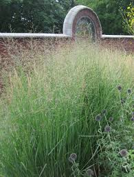 native grass plants dig deeper into switchgrass the genus panicum