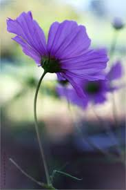 Very Pretty Flowers - 112 best cosmos images on pinterest cosmos flowers flowers and