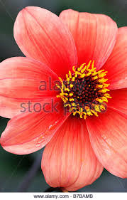 Apricot Color Apricot Dahlia Stock Photos U0026 Apricot Dahlia Stock Images Alamy
