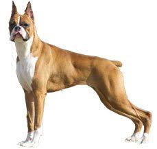 boxer dog origin boxer dog breed information dogspot in