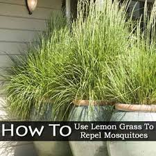 How To Keep Mosquitoes Away From Backyard How To Use Lemon Grass To Repel Mosquitoes Lemon Grass Grasses