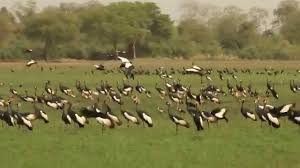 black crowned cranes at rigueik in zakouma national park in chad 4
