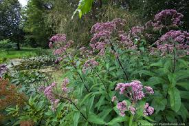 minnesota native plants better than lawn photobotanic