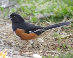 eastern towhee with beautifull red eye high point north u2026 flickr