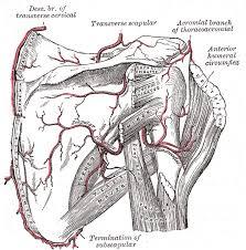 Foot Vascular Anatomy Vascular Anatomy Of The Shoulder